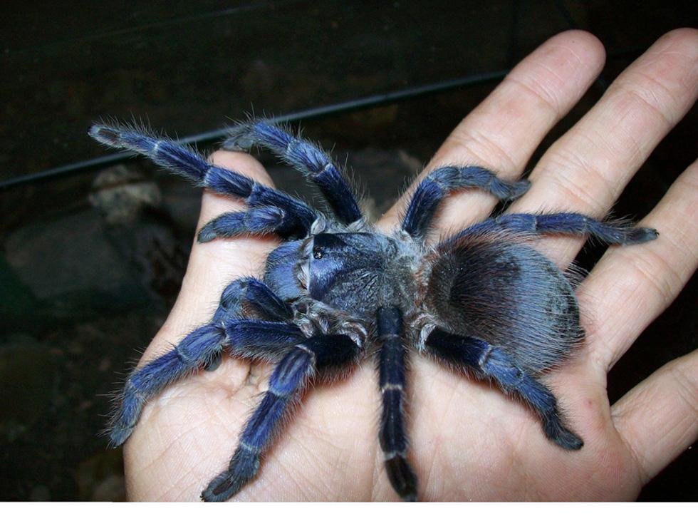 blue-spider